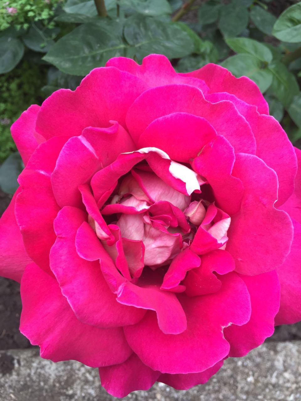 Идеальная красота. Блиц: розы