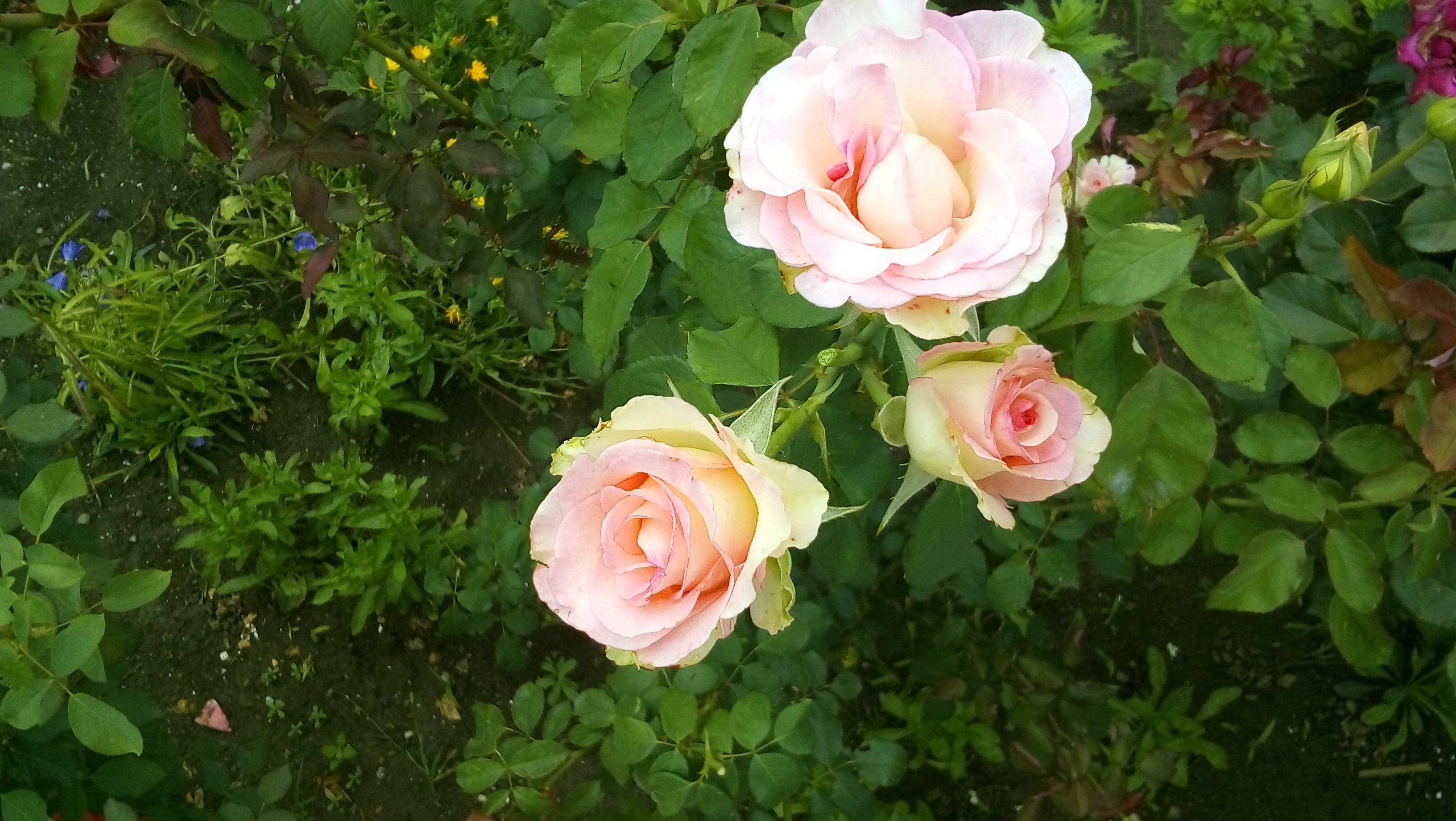 Нежность природы . Блиц: розы