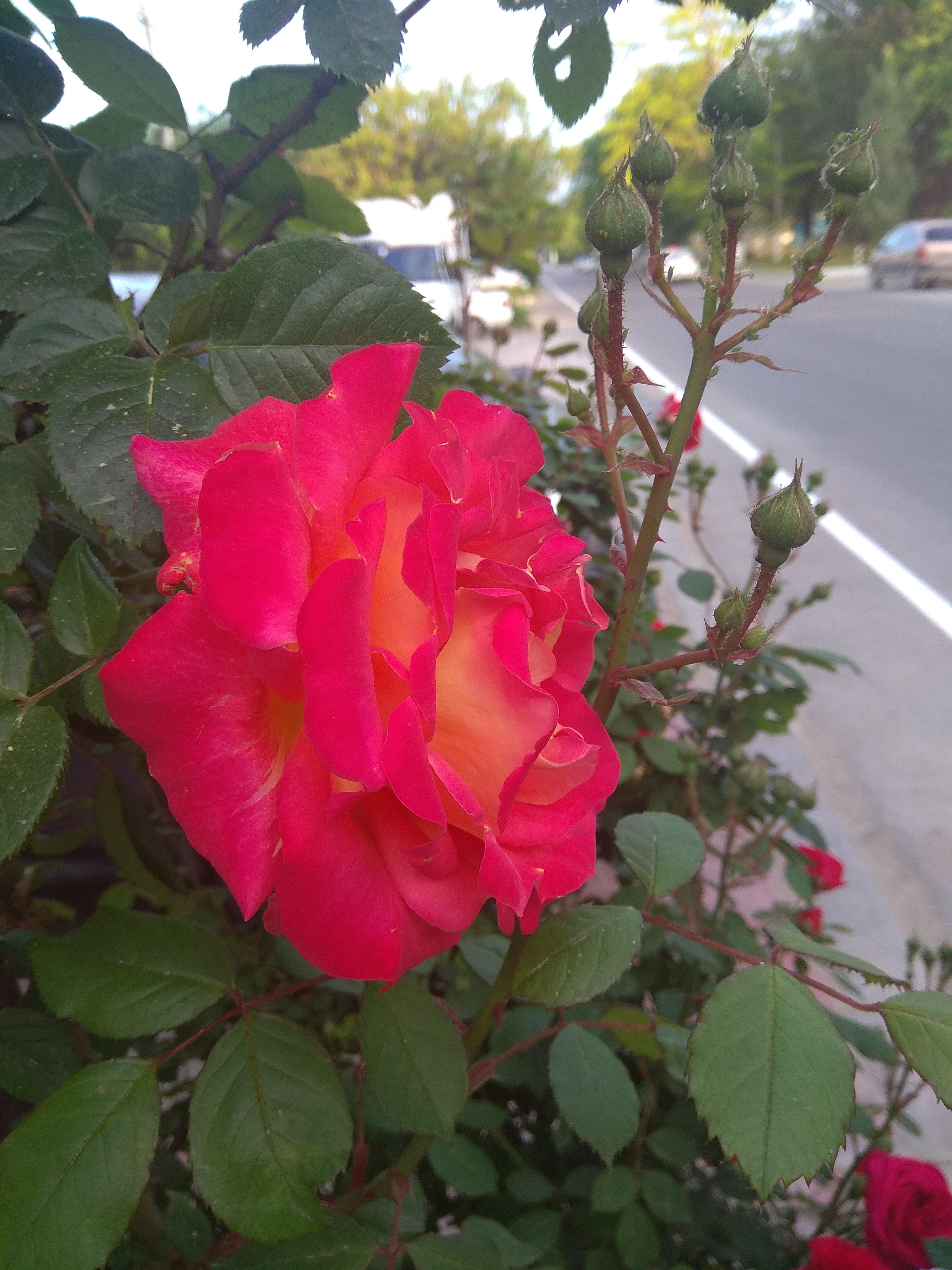 Южная королева!. Блиц: розы