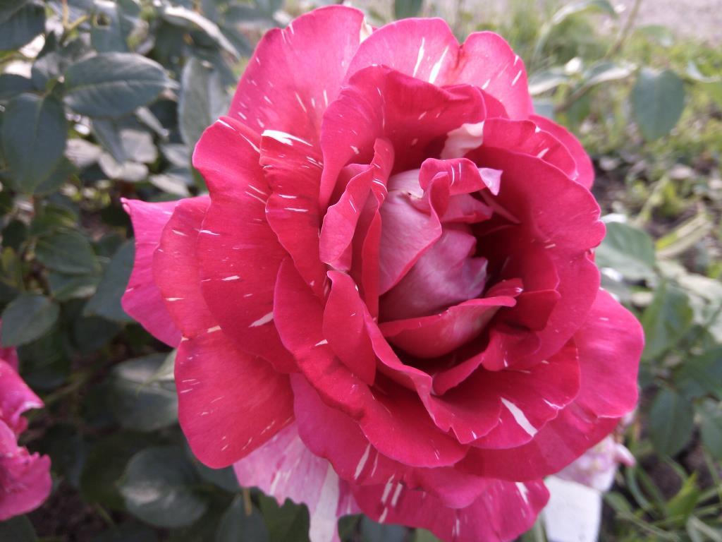 Воспоминания о лете. Блиц: розы