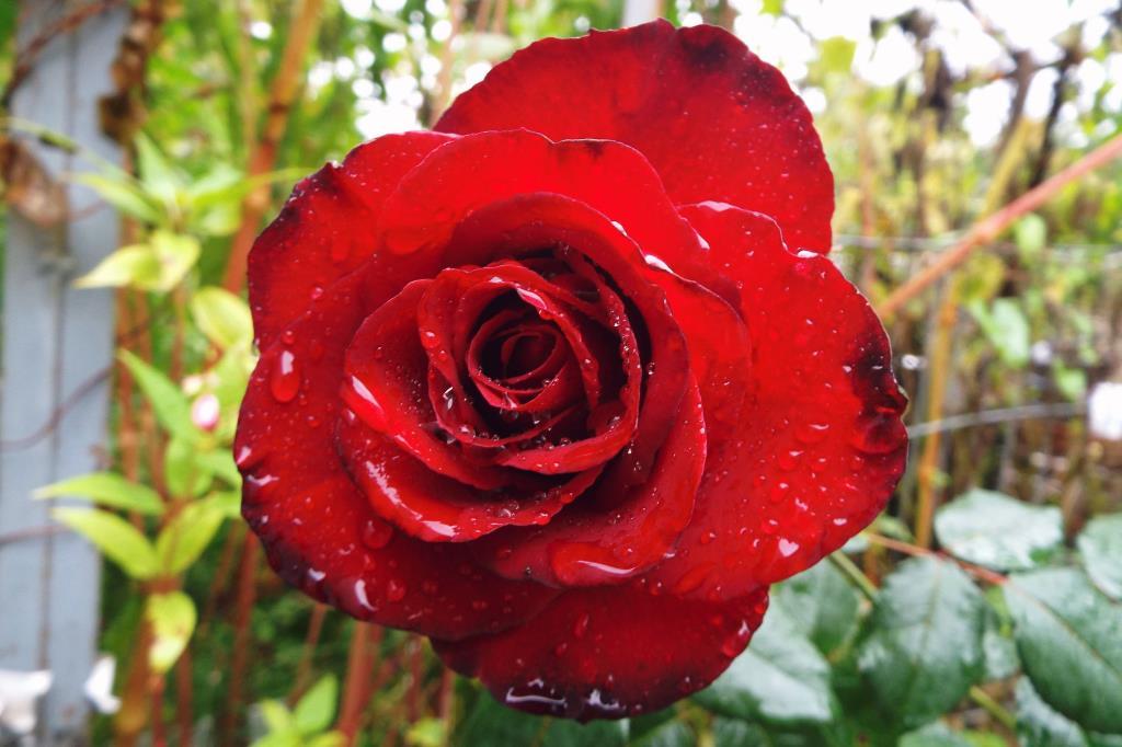 Роза сада королева - любованью нет предела!. Блиц: розы