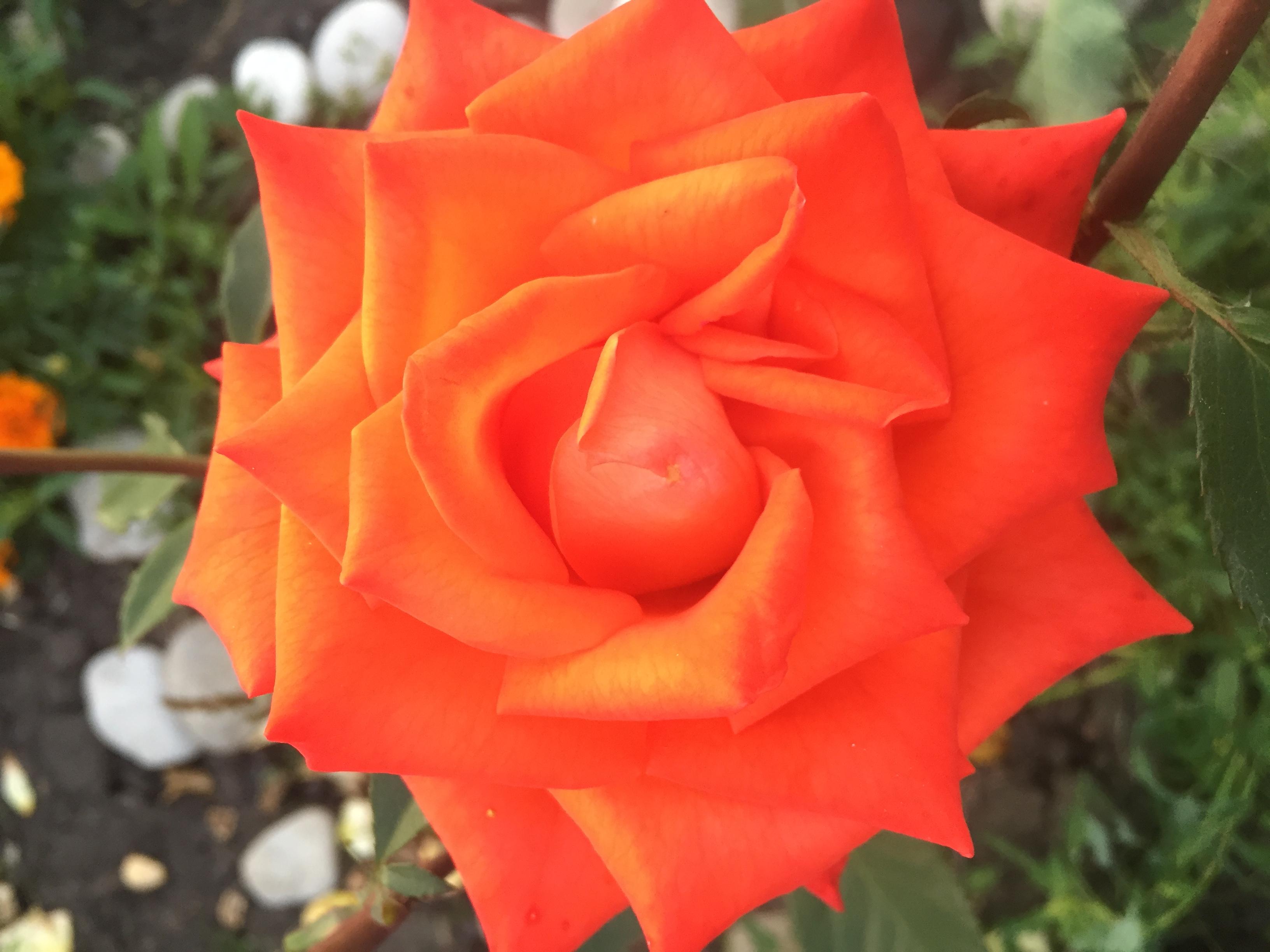 Вместо тысячи слов.... Блиц: розы
