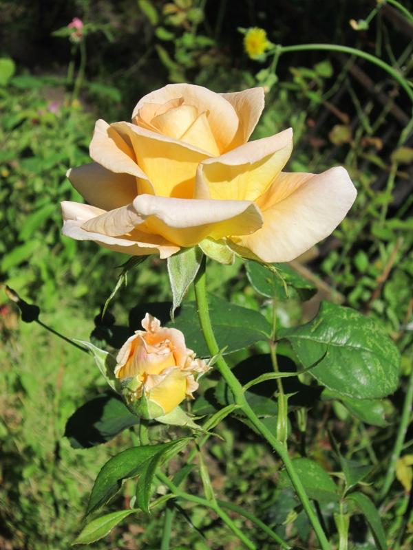 Красавица. Блиц: розы