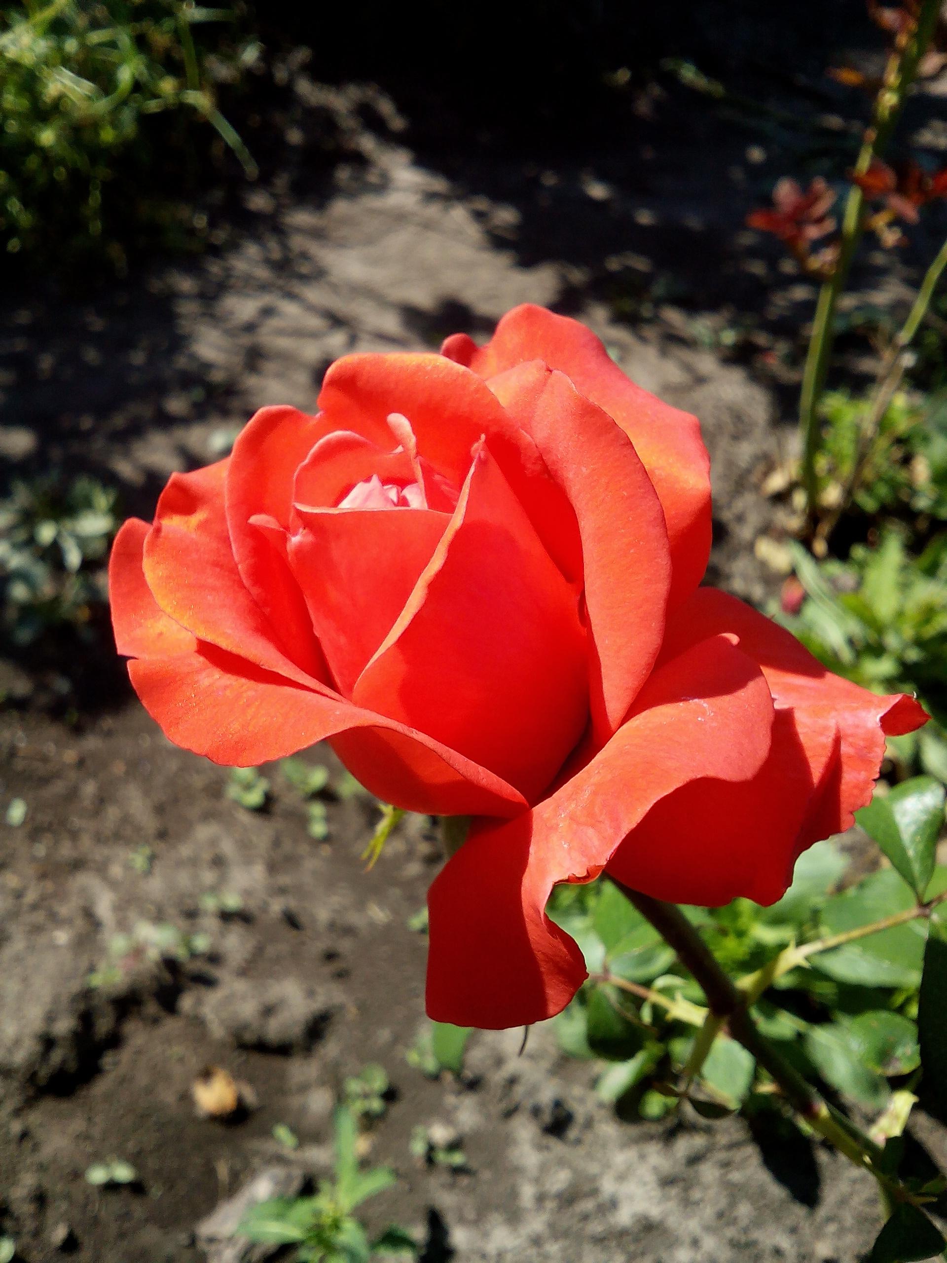 Блиц: розы. Блиц: розы