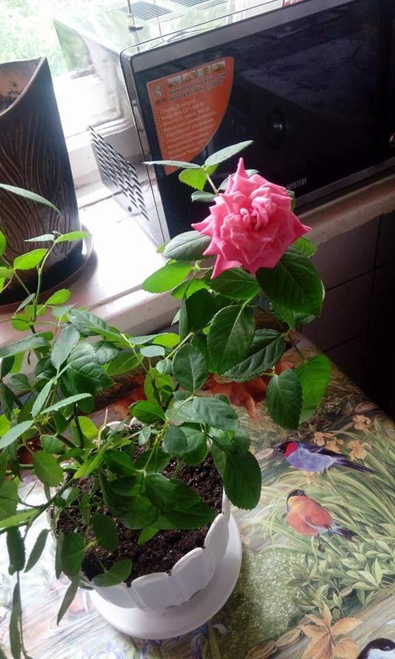 Моя милая принцесса. Блиц: розы