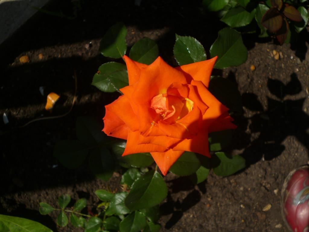 Роза нашего сада!!!. Блиц: розы