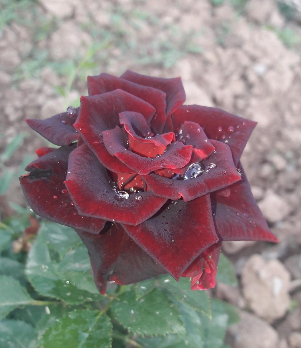 У саду моей кумы. Блиц: розы