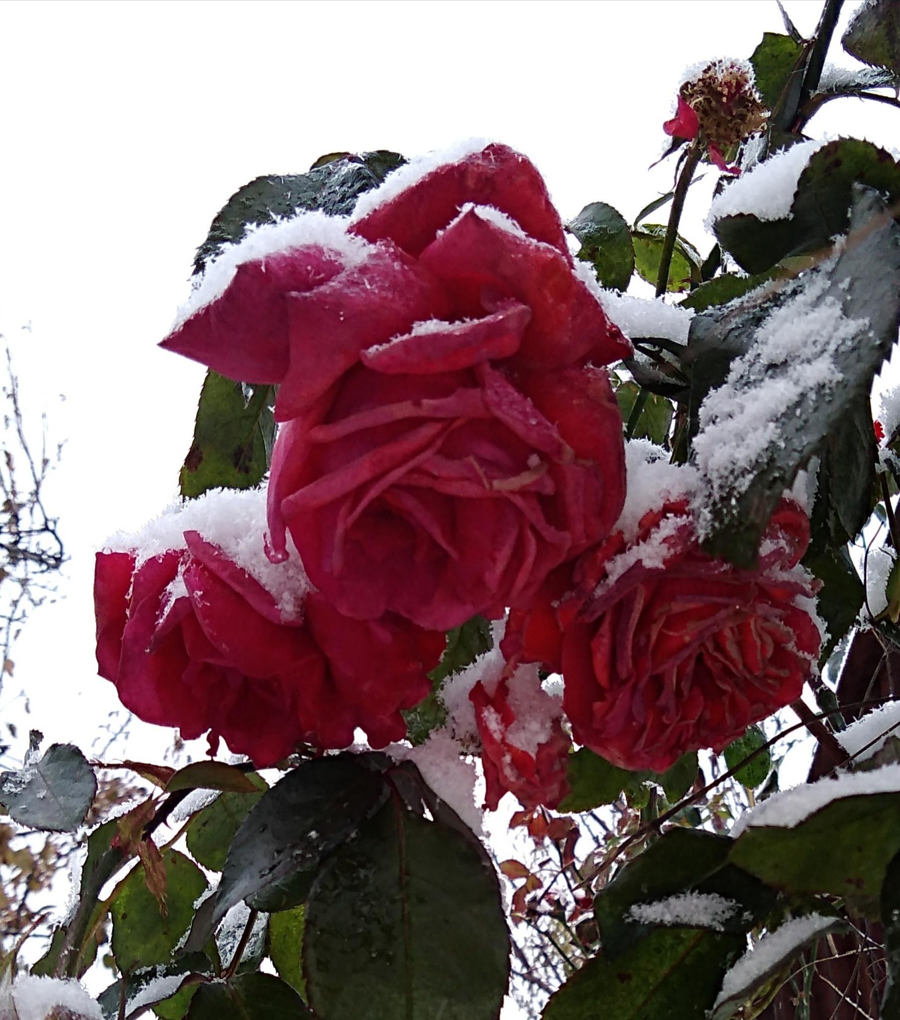 Чудо природы. Блиц: розы