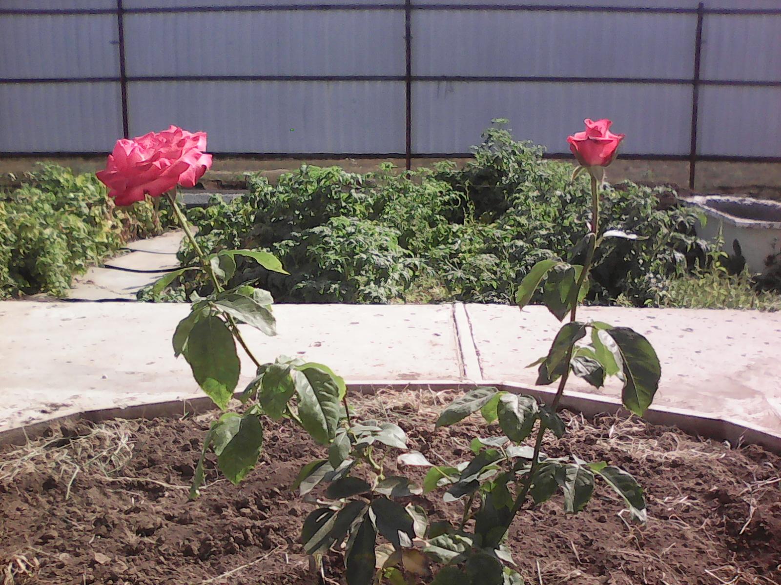 первая розочка в нашем дворе). Блиц: розы