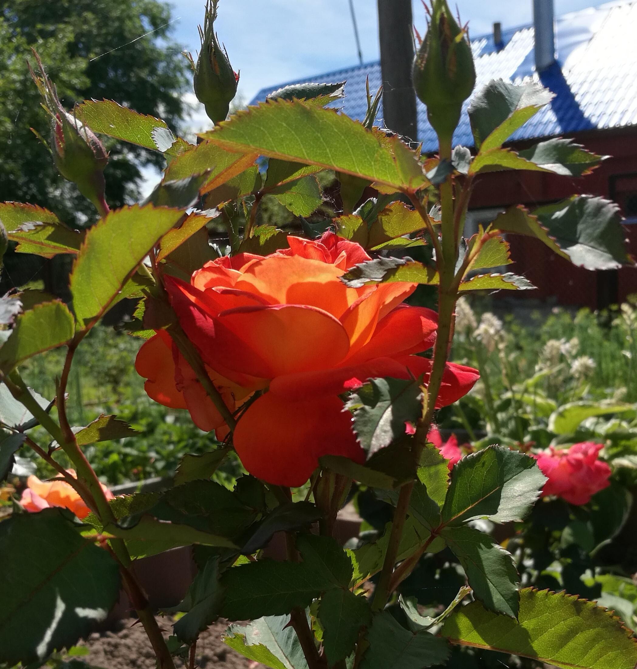 Пройдемте в сад? Я покажу вас розам:) (Р. Шерид) . Блиц: розы