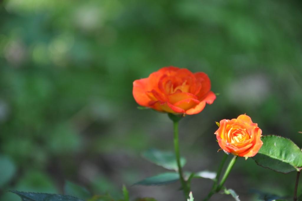Луч солнца золотого. Блиц: розы