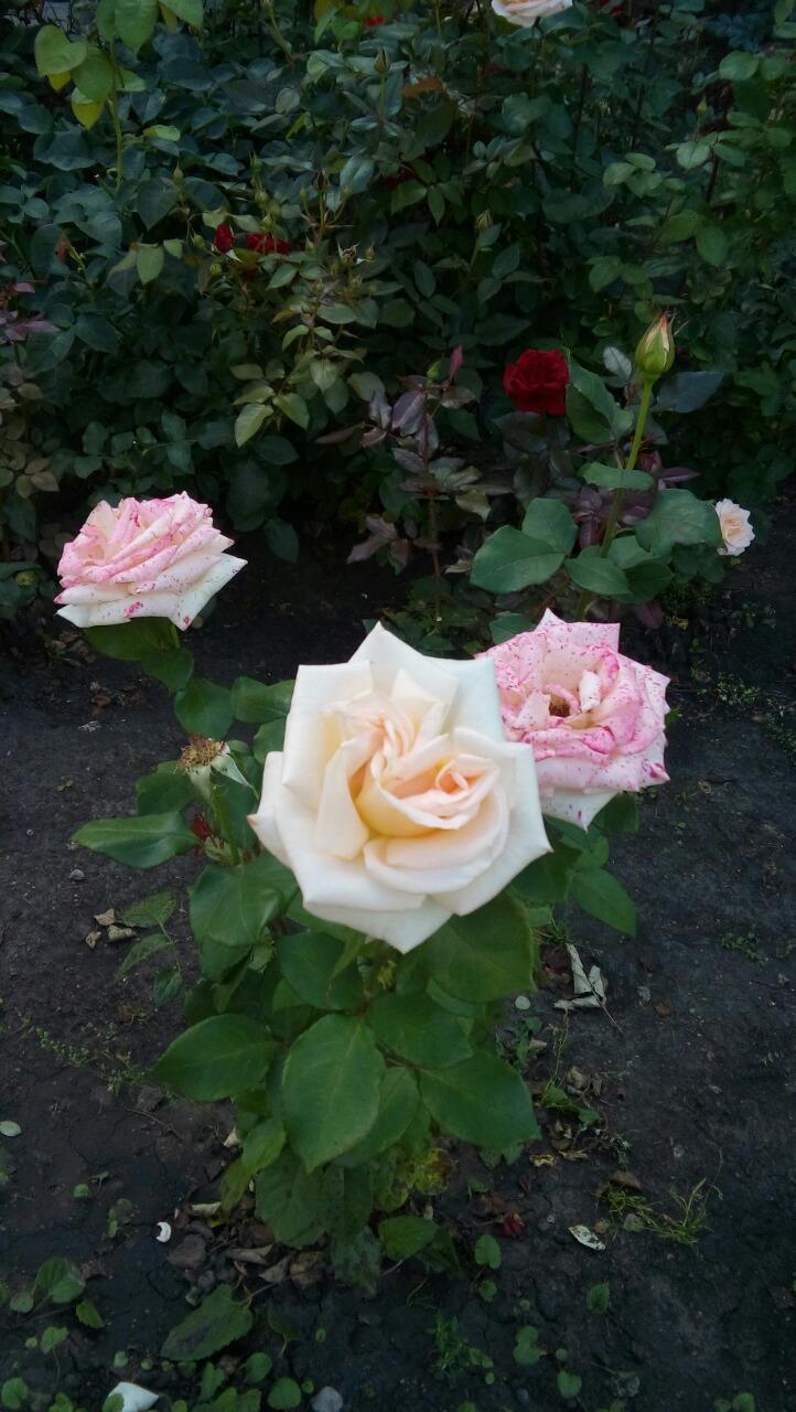 Садовые розы. Блиц: розы