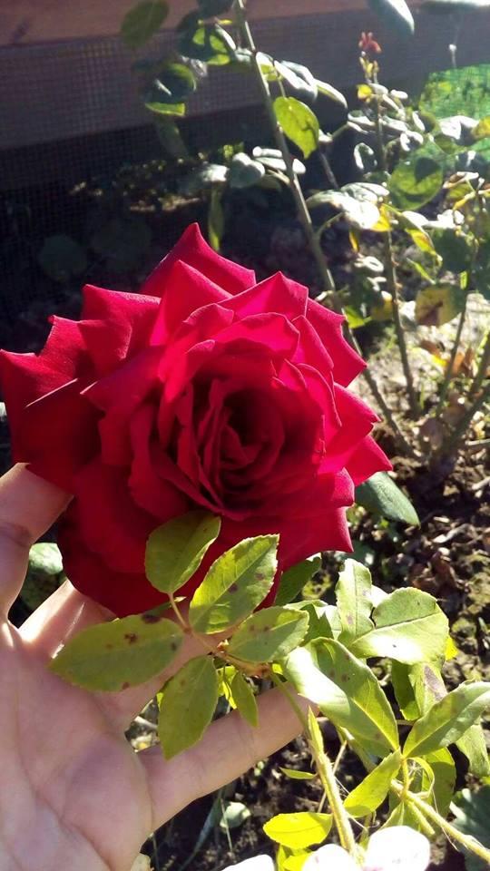 Последние теплые дни. Блиц: розы