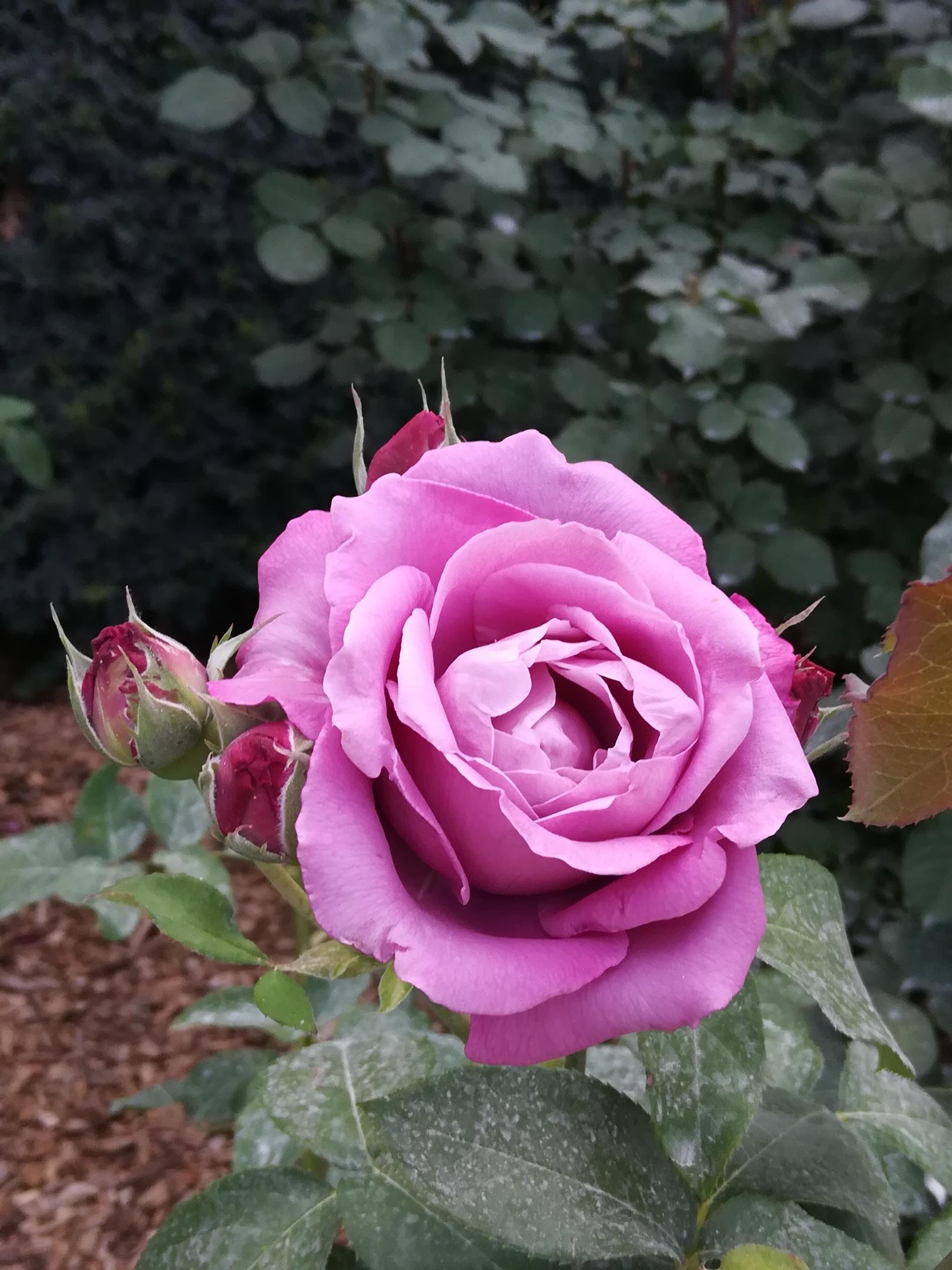 РОСКОШНАЯ КРАСАВИЦА. Блиц: розы