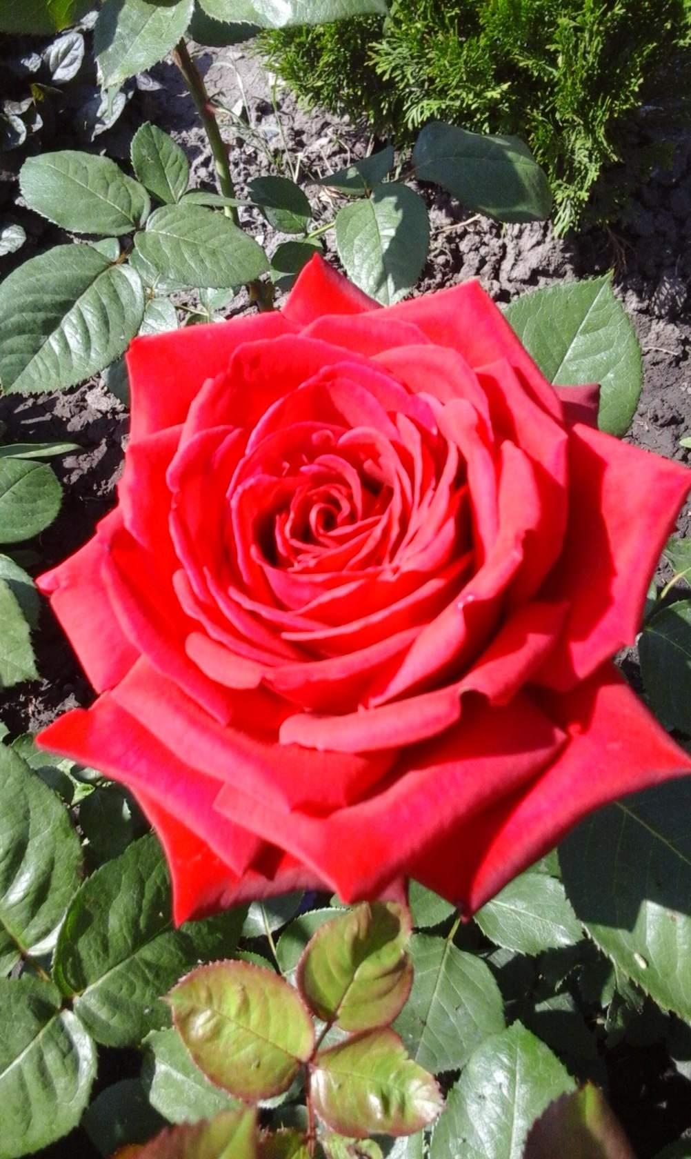 роза-королева цветов!. Блиц: розы