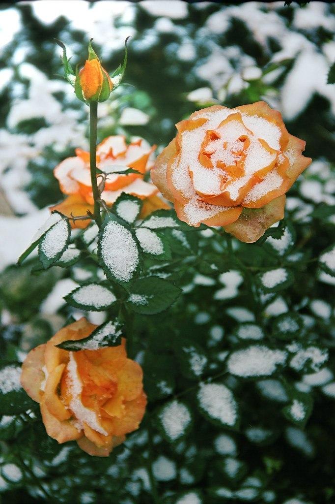 Розы зимой. Блиц: розы