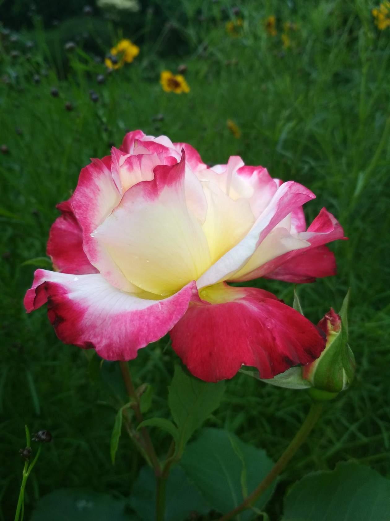 Роза.А аромаат...... Блиц: розы