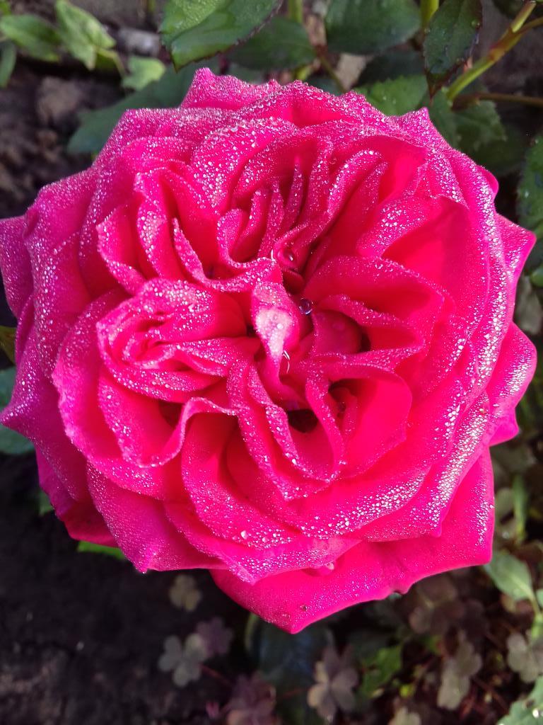 Блиц:Роза. Блиц: розы