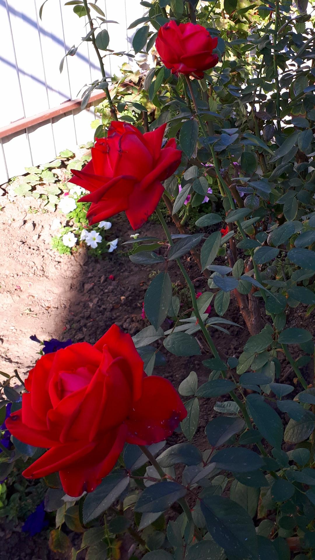 Последнии денёчки наслождения аромата прекрасных с. Блиц: розы
