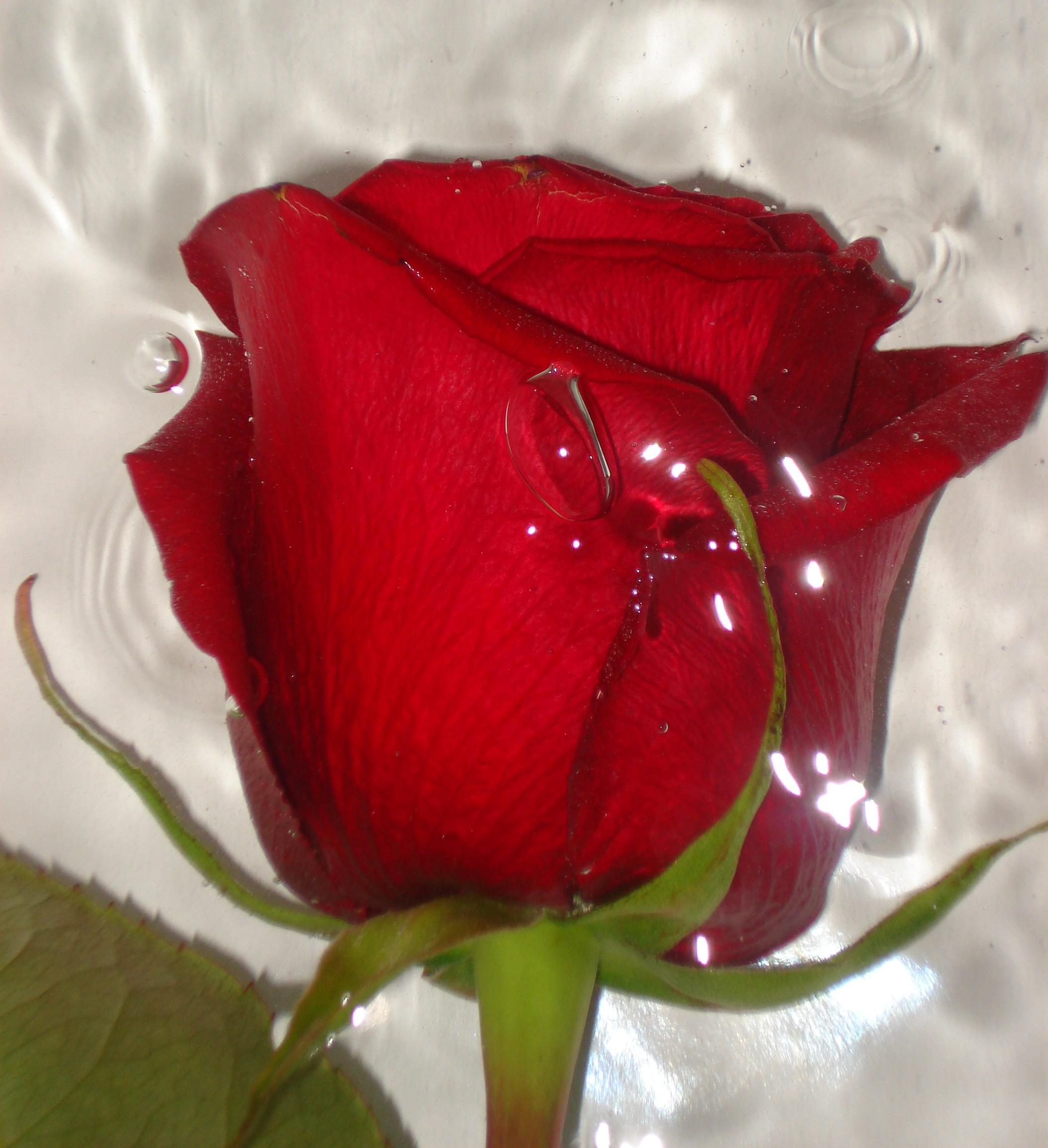 Красная роза-эмблема любви). Блиц: розы