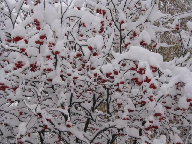 Рябина под снегом. Блиц: здравствуй, зима!