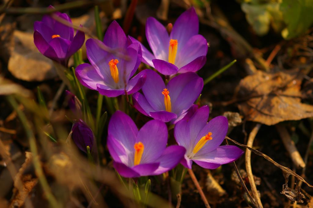 Крокус. Блиц: весенние цветы