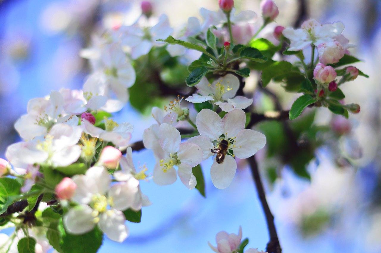 цветущая яблоня  (Да, на Кубани весна ранняя). Блиц: весенние цветы