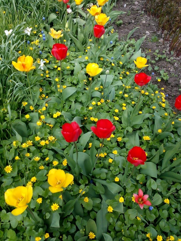 Весенние цветы... Парад тюльпанов. . Блиц: весенние цветы