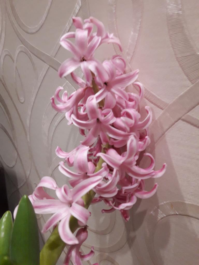 Гиацинт. Блиц: весенние цветы