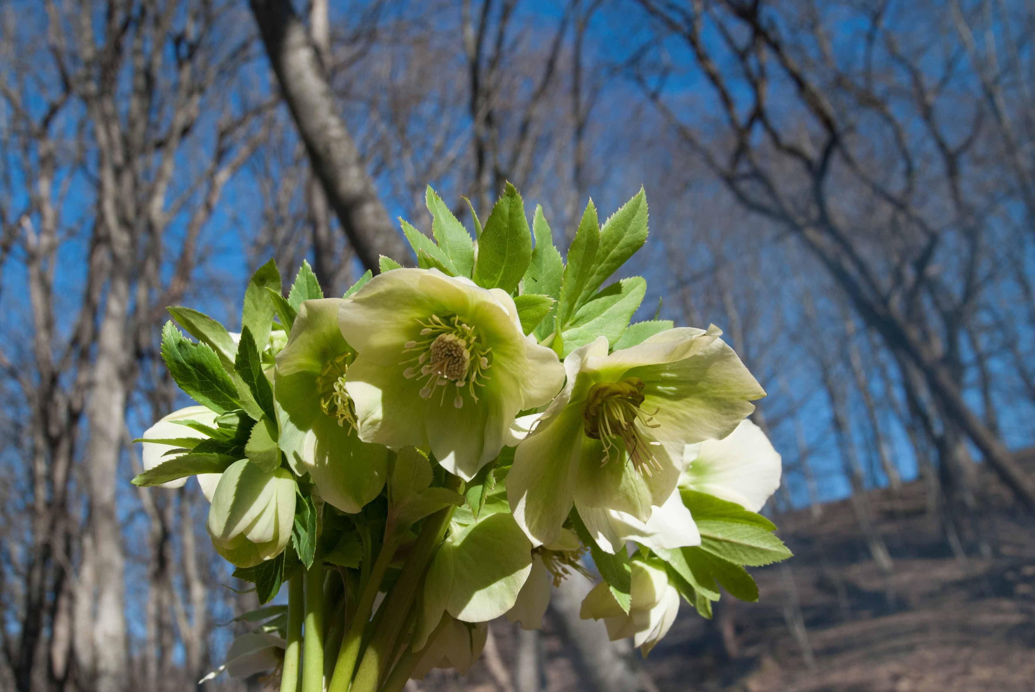 Лесной букет...Морозники (зимовники).). Блиц: весенние цветы