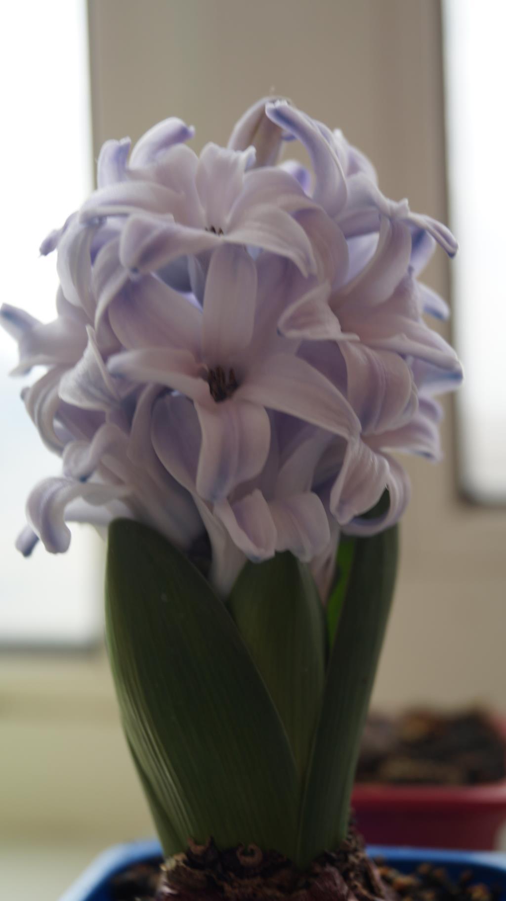 Гиацинт.. Блиц: весенние цветы