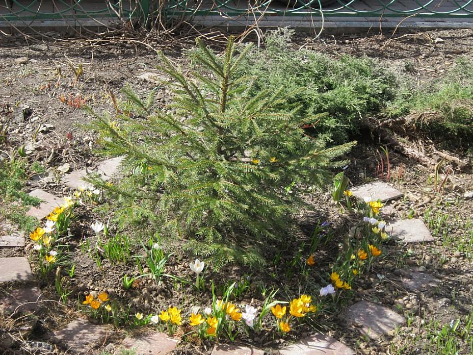 Ёлочка и первые цветы. Блиц: весна идет!