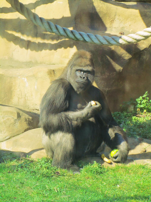 Выходила к ним горилла.... Блиц: дикие животные