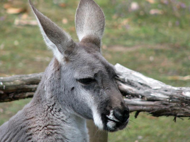 Грустный кенгуру. Блиц: дикие животные