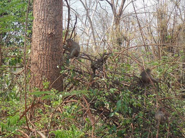 Дикие обезьяны в джунглях Тайланда. Блиц: дикие животные