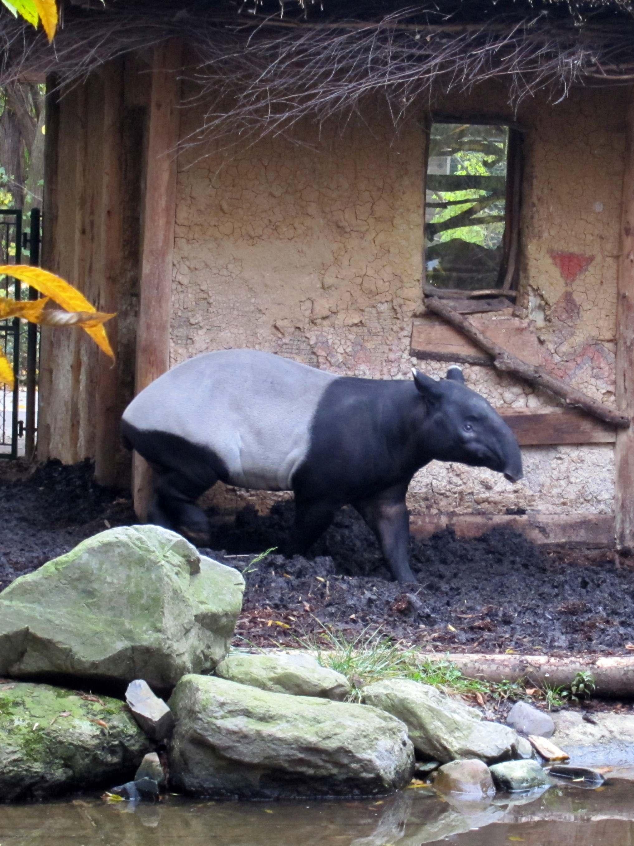 Тапир. Блиц: дикие животные