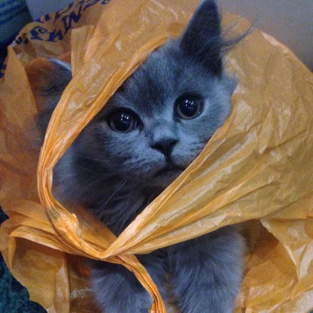 Кот и пакет.. Блиц: семейство кошачьих