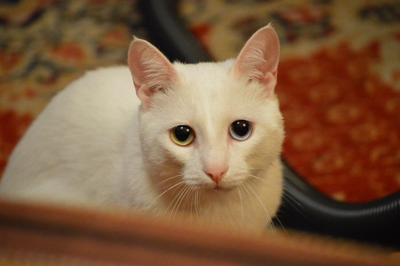 Бакс Банни- турецкий ангор. Блиц: семейство кошачьих