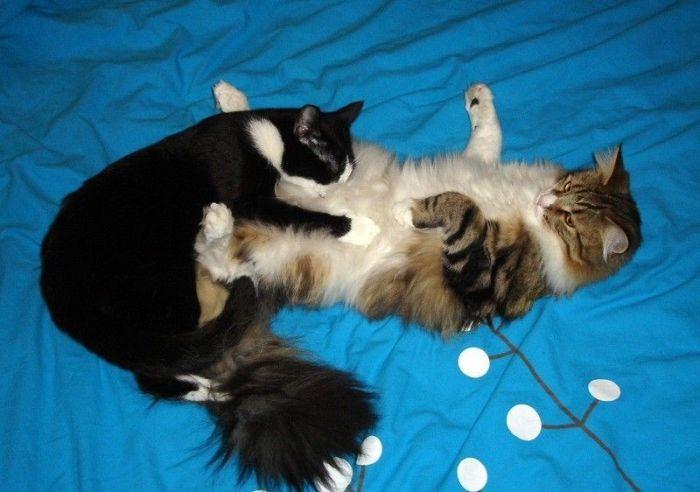 Кошачья нежность . Блиц: семейство кошачьих