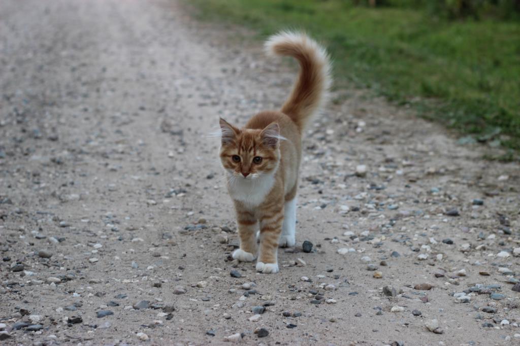 Наш Рыжик на проселочной дороге . Блиц: семейство кошачьих