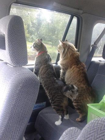 В дороге. Блиц: семейство кошачьих