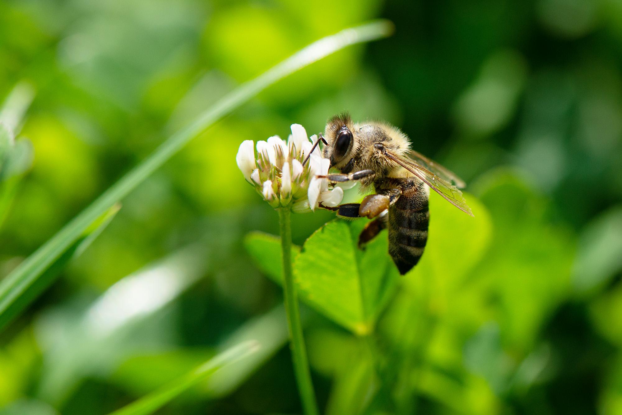 Труженица пчела. Блиц: насекомые