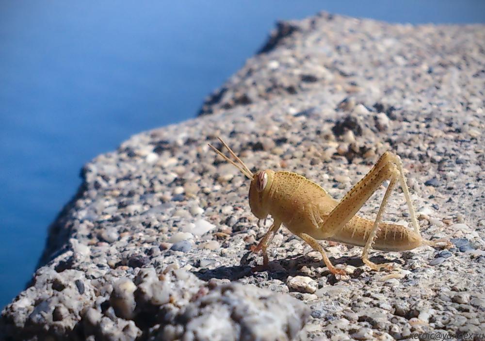 Турецкий кузнечик.. Блиц: насекомые