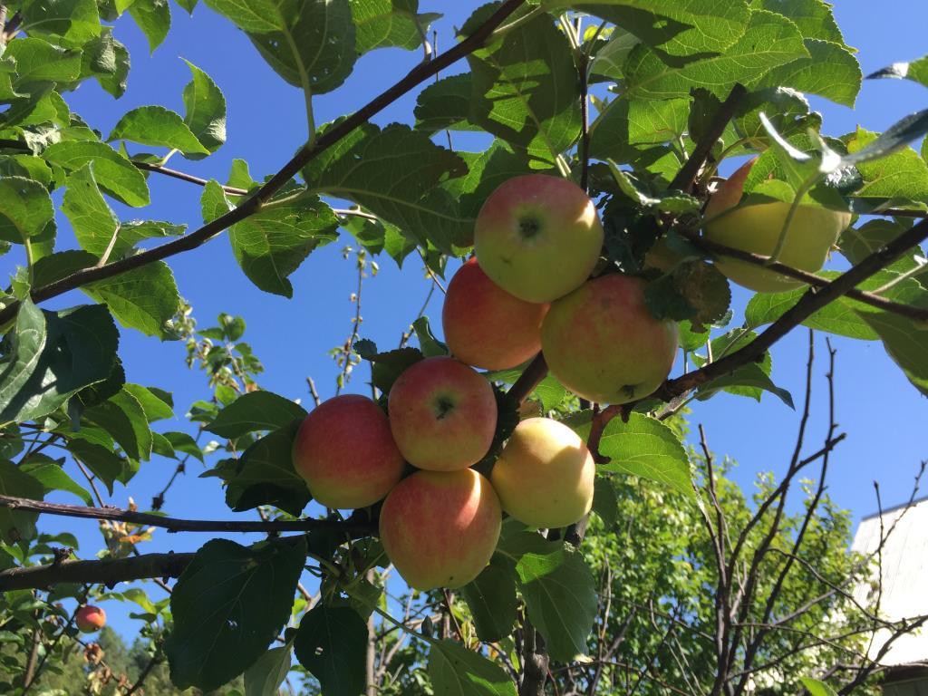 Эх! яблочко....!!!. Блиц: сбор урожая