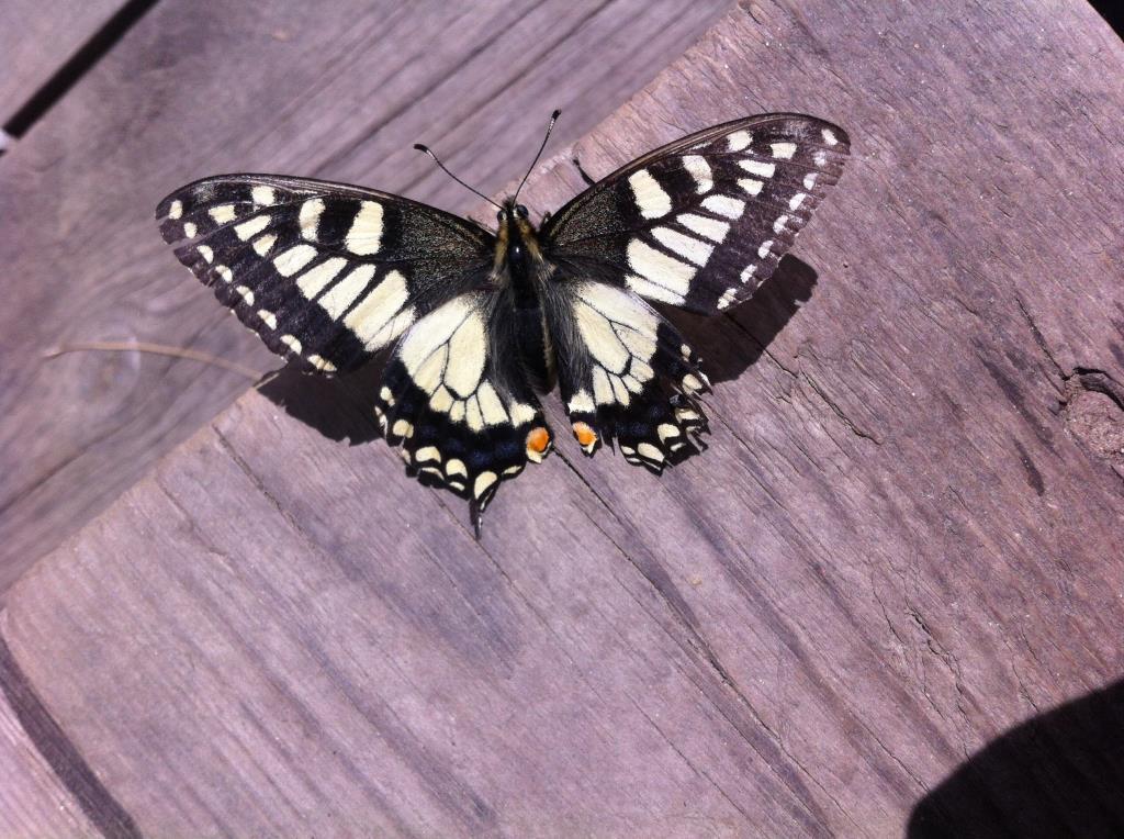 Редкая бабочка Махаона. Блиц: насекомые