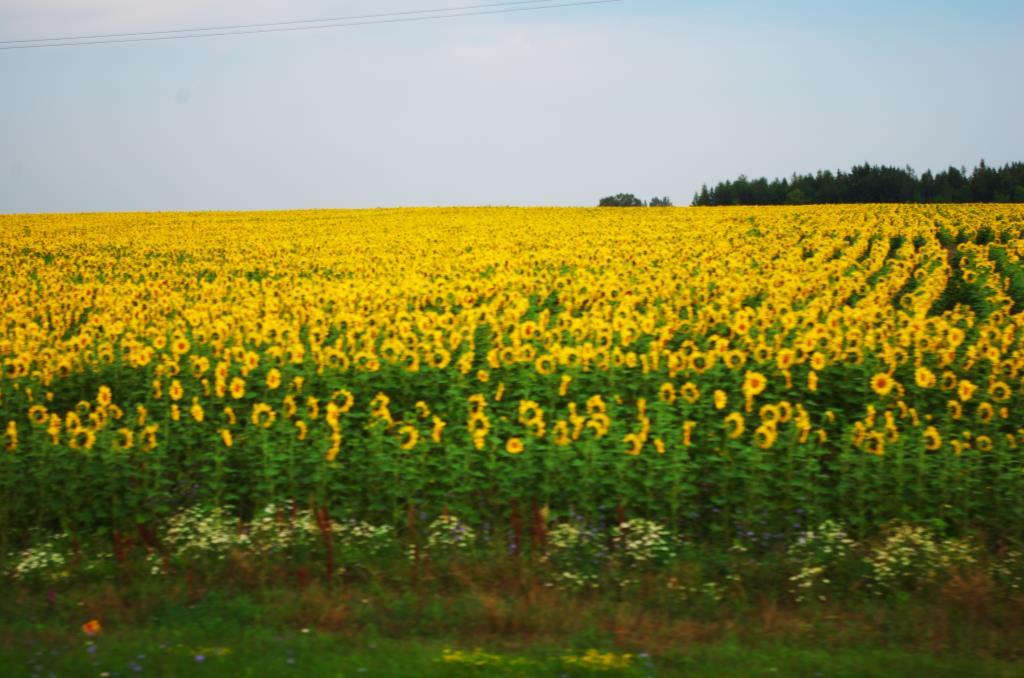 Бескрайние поля подсолнухов!!!!. Блиц: летние цветы
