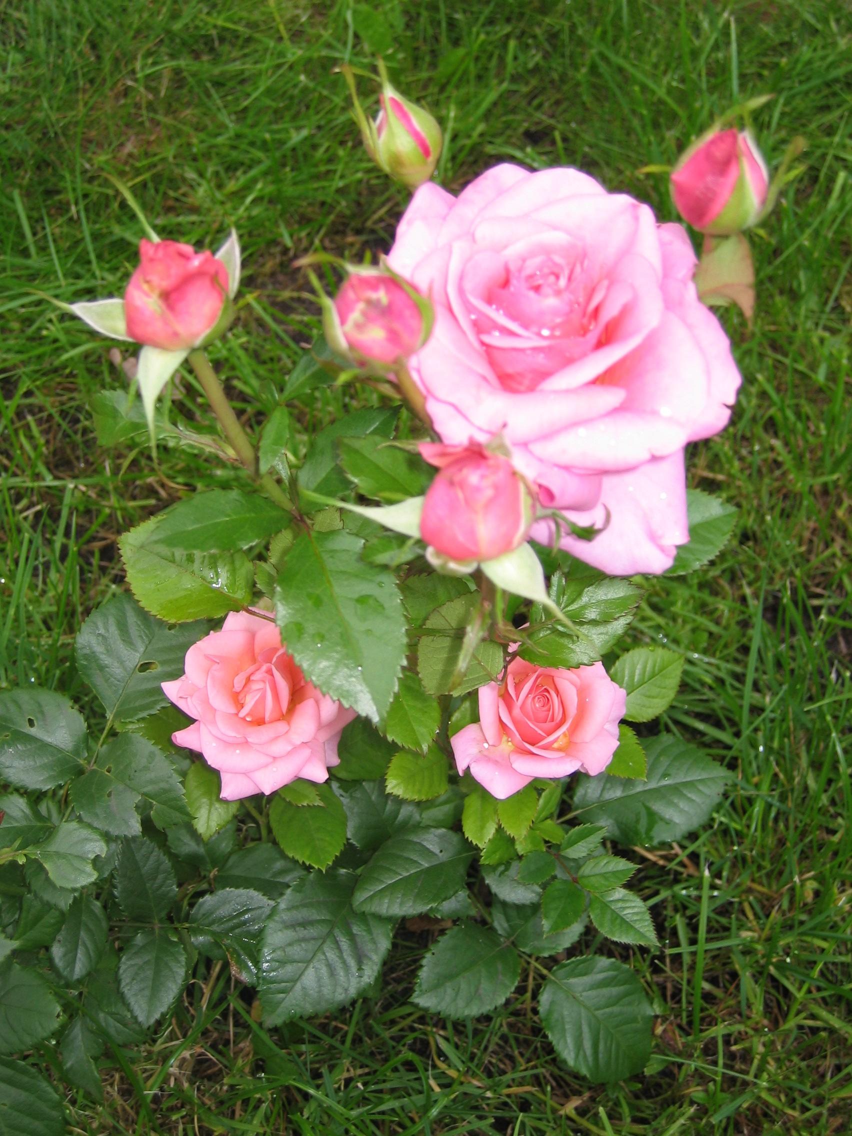 Розы прекрасные!. Блиц: летние цветы