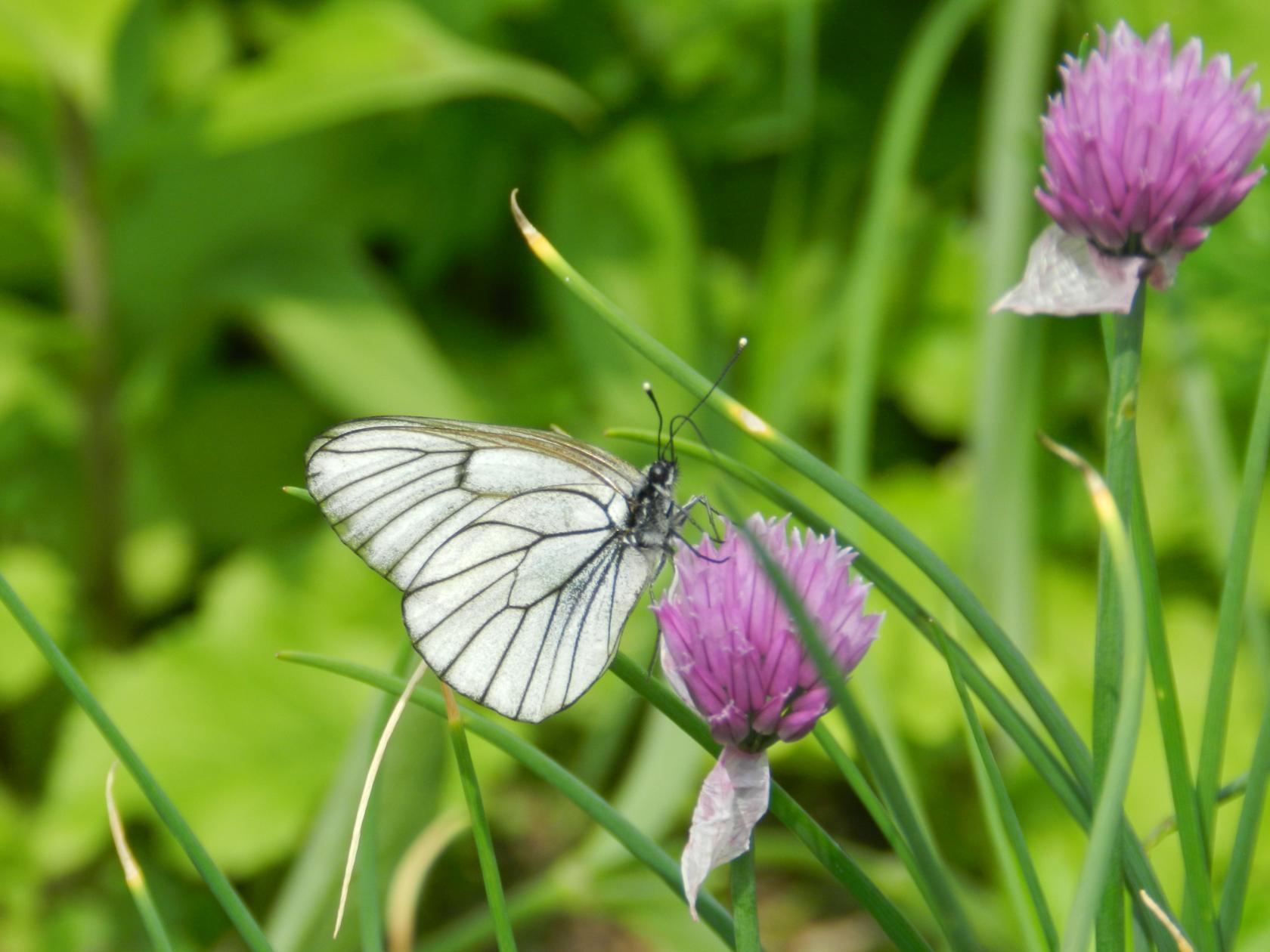 Белая бабочка. Блиц: насекомые