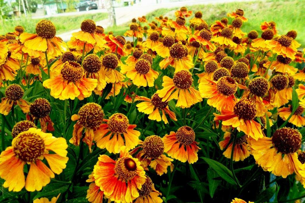 Гелениум - король оранжевого лета. Блиц: летние цветы