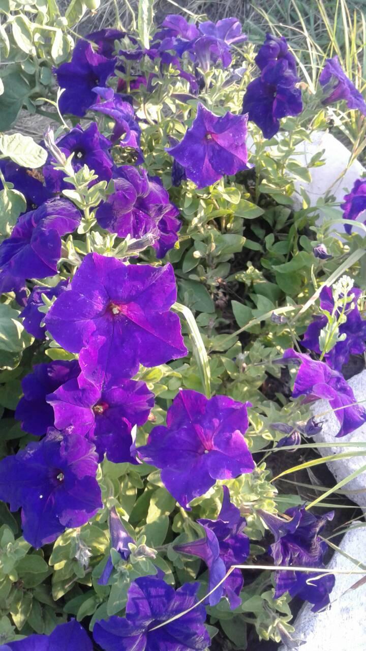Петуньи-пышным цветом. Блиц: летние цветы